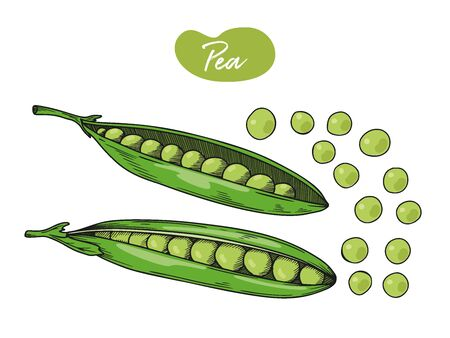 Pea is isolated on a white background. Vector illustration in sketch style.  イラスト・ベクター素材