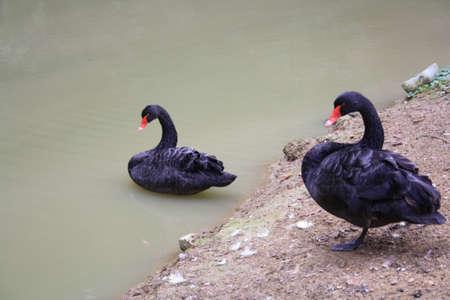 inseparable: black swan Stock Photo