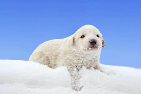 snowdrift: little puppy in snowdrift Stock Photo