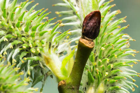 Inflorescence willow close-up  Macro photo photo