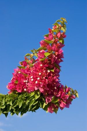 Bougainvillea plant with a blue sky for background Stock Photo - 10315734