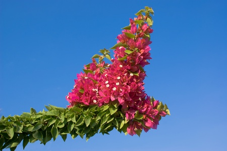 Bougainvillea plant with a blue sky for background Stock Photo - 10324162