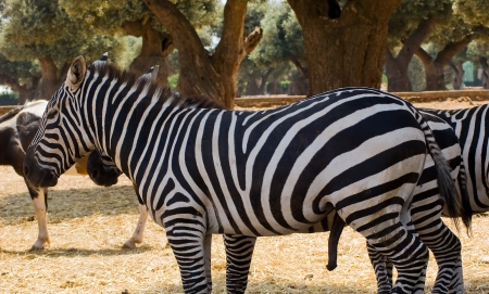 penis: Zebra Stock Photo