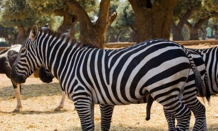 erection: Zebra Stock Photo