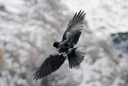 Alpine Chough in flight in the Dolomites, Italy photo