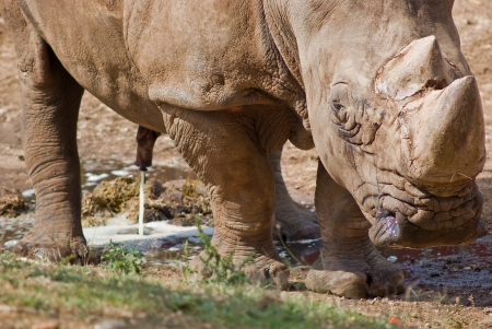 peeing: Wild rhino peeing in african natural reserve