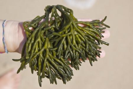 Close-up d'algues dans la main d'un enfant