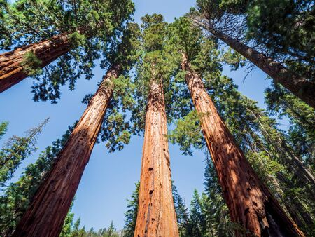 Giant sequoia (Sequoiadendron giganteum) trees in Giant Forest of Sequoia National Park in the U.S. California.