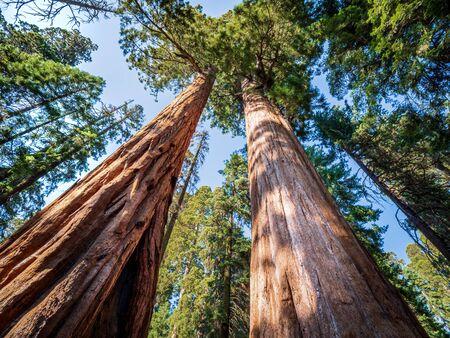 Giant sequoia (Sequoiadendron giganteum) trees in Giant Forest of Sequoia National Park in the U.S. California. Foto de archivo