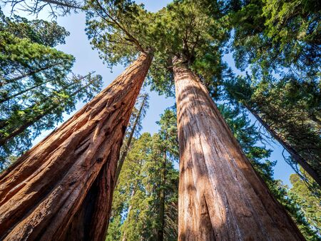Giant sequoia (Sequoiadendron giganteum) trees in Giant Forest of Sequoia National Park in the U.S. California. Stock Photo
