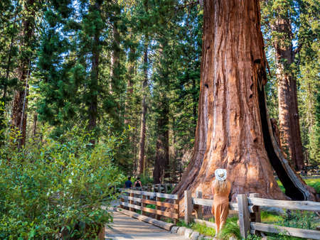 Blonde girl admires General Sherman a giant sequoia (Sequoiadendron giganteum) tree in Giant Forest of Sequoia National Park in the U.S. California. By volume, it is the largest living tree on Earth 版權商用圖片