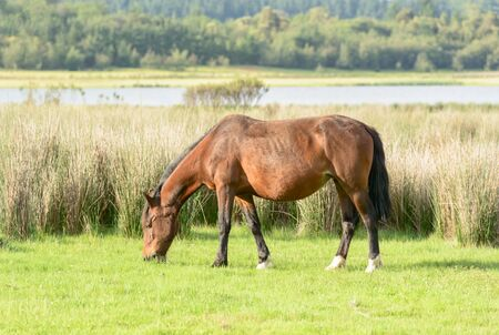 """Alone brown horse grazing in meadow against a background of the lake on warm sunny evening, """"Lago Penuelas"""" National Park Reserve, Chile Stock Photo"""
