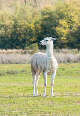 """Alone wet white llama standing against a background of the border of wood in bright sunny day in """"Lago Penuelas"""" National Park Reserve, Chile"""