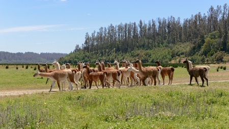 """Herd of multicolored llamas walking against a background of the border of wood in bright sunny day in """"Lago Penuelas"""" National Park Reserve, Chile"""