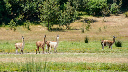 """Group of five multicolored llamas walking against a background of the border of wood in bright sunny day in """"Lago Penuelas"""" National Park Reserve, Chile Stock Photo"""