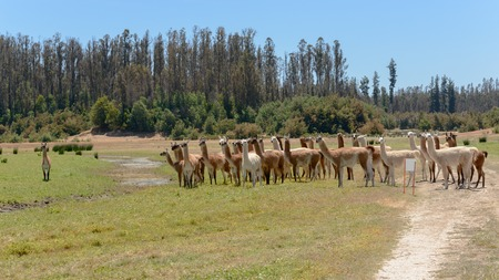 """Big herd of multicolored llamas walking against a background of the border of wood in bright sunny day in """"Lago Penuelas"""" National Park Reserve, Chile Stock Photo"""