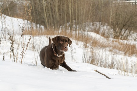 Young Labrador Retriever playing in snow against a background of the border of wood on sunny day