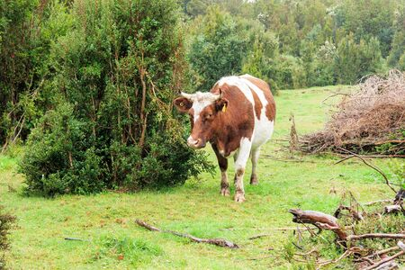 Beautiful wet alone cow on the edge of the forest in rainy day Stock Photo