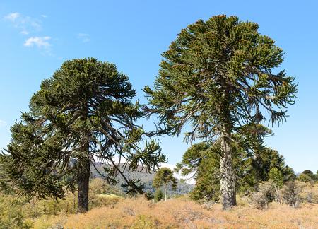 Araucaria Lanin National Park Stock Photo