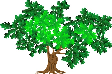 green oak tree isolated on white background