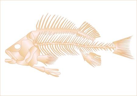 skeleton of fish: esqueleto de pescado aislado en el fondo blanco