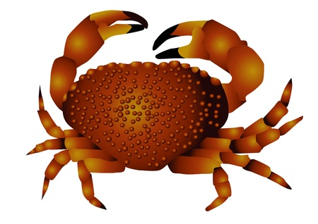 sea   crab isolated on the white background Stock Vector - 16991794