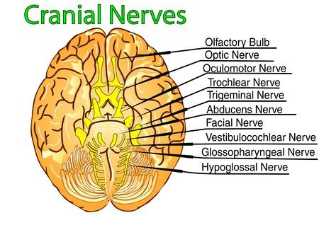 cranial nerves on white bacground  10 EPS