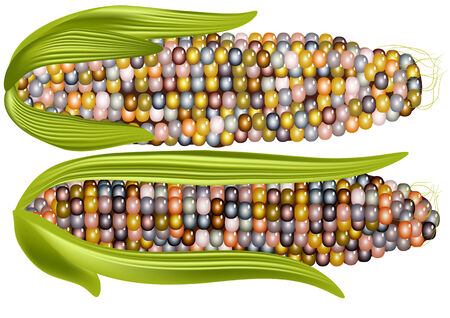 isoated: color corn isoated on a white background