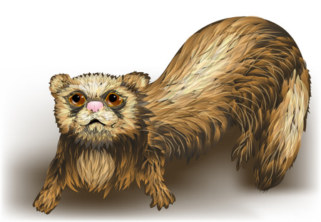 ferret: ferret on a white background
