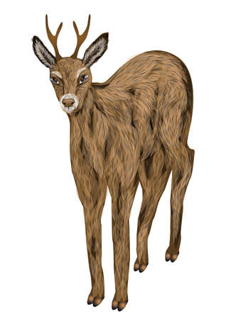 roe deer: roe deer isolated on a white background Illustration