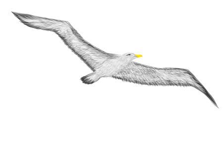 albatross: albatross isolate don white background   Illustration