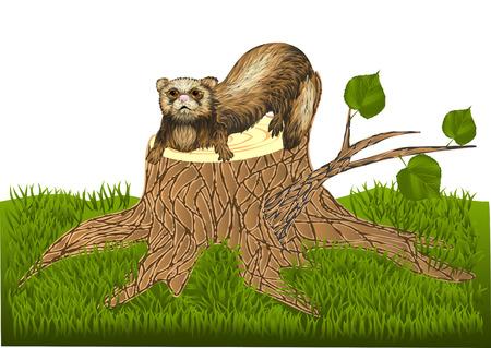 ferret: ferret on stump Illustration
