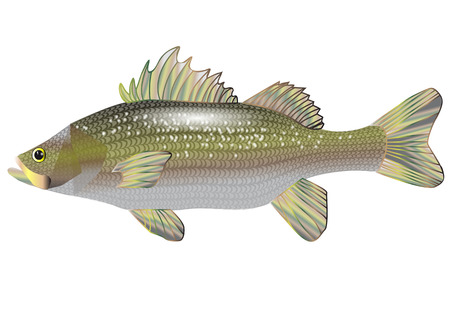 sea bass isolated on a white background Vector