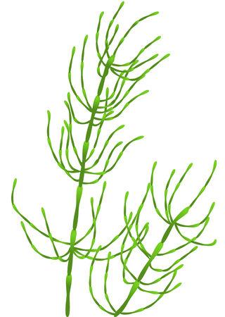 horsetail: horsetail isolated on white background   Illustration