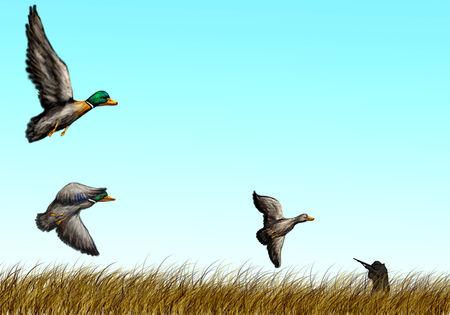 canard et chasseur dans le champ jaune