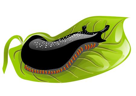 gastropoda: black slugs on a green leaf. Illustration