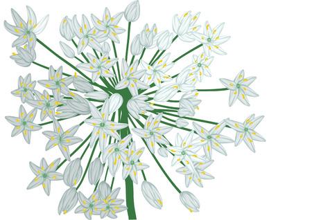 allium: allium on white. stilyzed flower isolated on white background Illustration