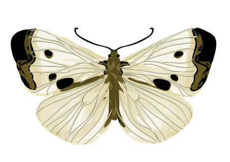 butterfly isolated: cabbage white butterfly isolated on a white background Illustration