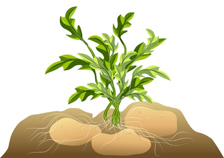 potato in soil isolated on a white background