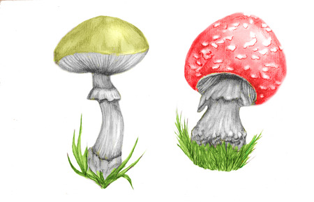 a fly agaric: mushroom poison. two mooshrooms on a white background