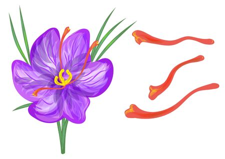 saffron with flower isolated on a white background Illustration