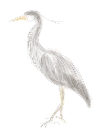 heron: grey heron isolated on a white background