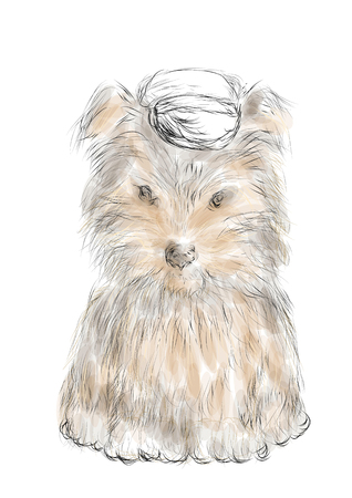 teacup: male teacup yorkie isolated on a white background