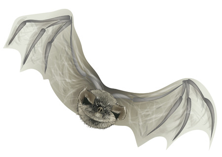 bat isolated on white. A close up of the flying bat