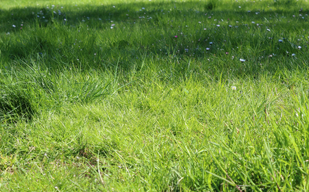 Green grass with meadow flowers