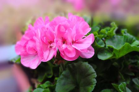 Pink geranium zonal flower 免版税图像