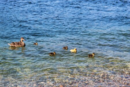 ducklings with duck.  Mother duck with ducklings Stock Photo