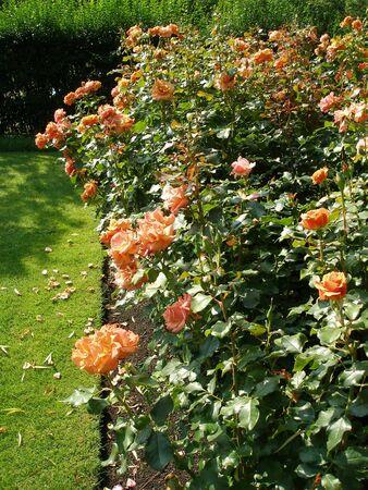 roseleaf: Roses Stock Photo