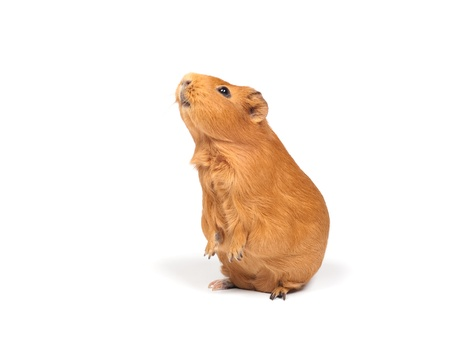 pry: Guinea pig stands on its hind legs (ramps). Isolated on white background. Stock Photo