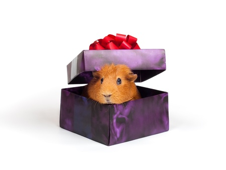 guinea pig: Guinea pig sitting in box like a present Stock Photo